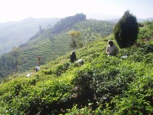Zbiór herbaty na plantacji w Kerali